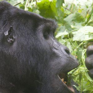 3 Days Special Gorilla Safari