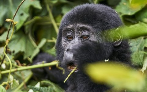 4 Days 3 Nights Gorilla Tracking In Rwanda our gorilla trekking adventure in Rwanda in Volcanoes National Park will give you a lifetime experience that you will live to share in stories with family and friends telling them about gorilla trekking