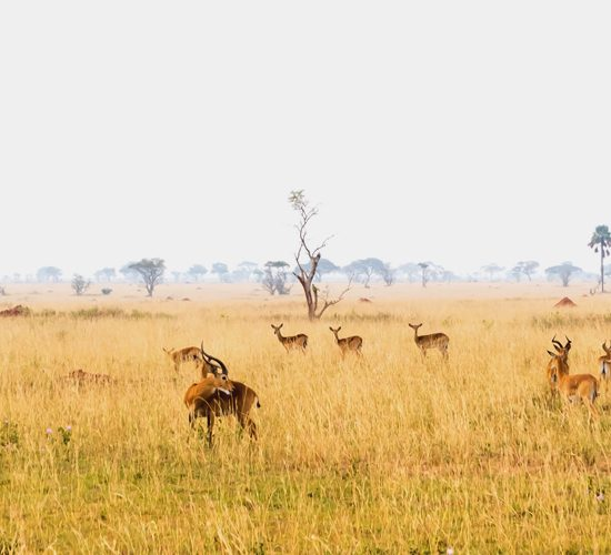 4 Days 3 Nights Safari in Medley Of Wonders enables you explore Uganda a land of contrasts. In half a day you can drive from mist-shrouded volcanic mountains to hot hazy savannah, dappled with wildlife. Serene undulating hills of tea plantations, lush but ordered