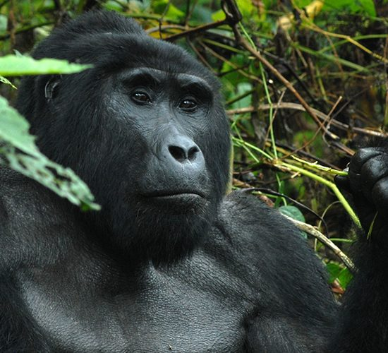 4 days Bwindi Impenetrable Forest national park shows you Uganda the a land of contrast, dappled with wildlife, serene undulating hills of tea plantations, lush but orderly, give way to tangled jungle and rainforest with the musical accompaniment of chaotic