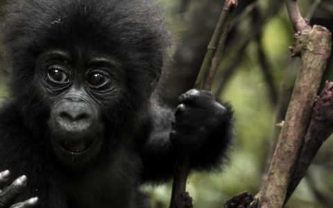 4 Days Congo Gorilla Trekking Safari on the start of this trip you will be picked up by our professional driver guide who will transfer you to Mikeno Lodge in Rumangabo in DRC