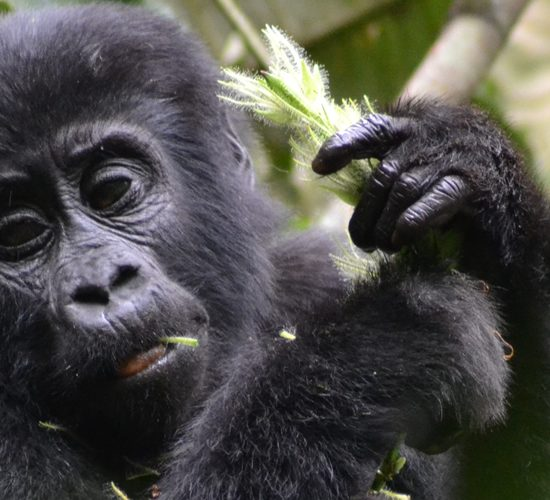 """4 Days Bwindi Impenetrable Forest Uganda """"the pearl of Africa"""" is a land of distinction, endowed with unmatched wildlife, serene undulating hills covered with varied flora, the savannah jungle largely inhabited by several species of antelopes, and rainforest with the musical accompaniment of birdlife"""