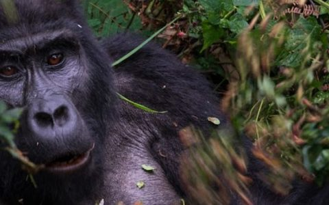 4 days gorilla trekking in Bwindi impenetrable national park, the Park is located in southwestern Uganda in East Africa. The park is part of the Bwindi Impenetrable Forest, along the Democratic Republic of Congo border on the edge of the Albertine Rift