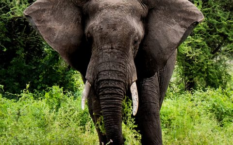 4 Days Tour safari Queen Elizabeth National park takes you to explore Uganda wildlife in Queen Elizabeth National Park.the park has over 100 mammal species and a remarkable 600 bird species this makes it best safari paradise with elephant, a profusion of hippos, the elusive giant forest hog and handsome Uganda