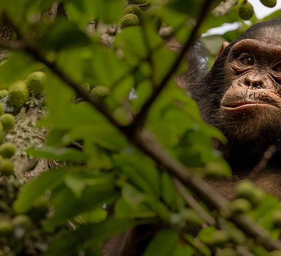 4 days Chimpanzee Trekking Kibale Forest National park shows you Uganda is a land of contrast, dappled with wildlife, serene undulating hills of tea plantations, lush but orderly, give way to tangled jungle and rainforest with the musical accompaniment of chaotic