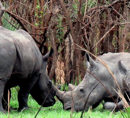 4 days Murchison Falls Ziwa Rhino Sanctuary Uganda is a land of contrast, dappled with wildlife, serene undulating hills of tea plantations, lush but orderly, give way to tangled jungle and rainforest with the musical accompaniment of chaotic