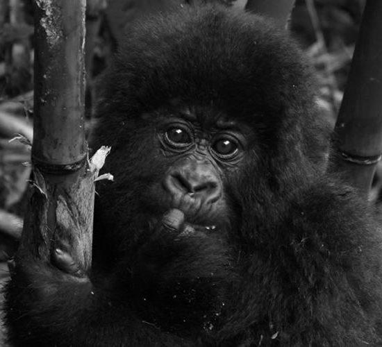 4 Days Gorilla Trekking Safari in Volcanoes National park Rwanda will take to Volcanoes national park is home to Mountain Gorilla, Golden Monkeys, Spotted Hyena, Buffaloes, Elephants, Black-fronted duiker and Bushbuck