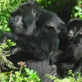 4 Days Bwindi Impenetrable Forest