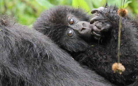 4 days gorilla trekking and Lake Mburo safari. This trip covers visits to Uganda's most popular primates and wildlife destinations