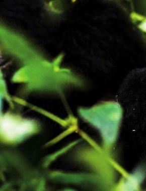 4 Days Gorilla Trekking In Bwindi Impenetrable National Park
