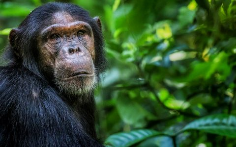 5 Days Chimpanzee tracking tour in Kibale Forest National Park offers the best experience of observing Chimpanzees in their natural habitat in Uganda. Kibale Forest has the biggest population of Chimps numbering more than 1500 individuals.