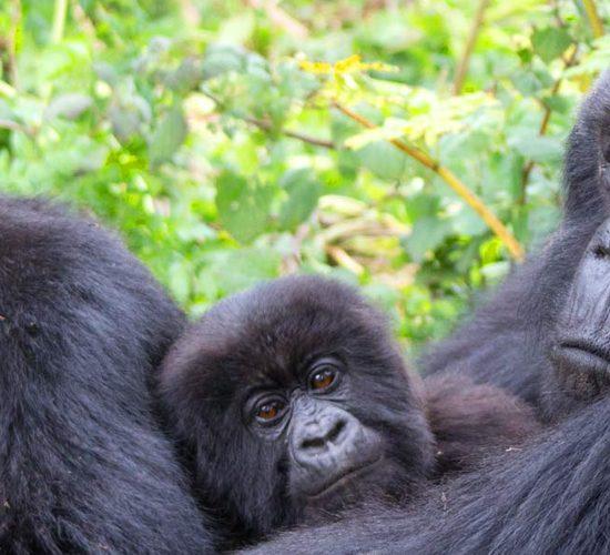 5 Days Gorilla Tracking Tour Safari Experience Rwanda will give you the two ultimate safari experiences like. game drives in Akagera national park and gorilla trekking in volcanoes national park. The Akagera national park is the only Savannah park in Rwanda