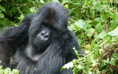 5 Days Gorilla Trekking Rwanda Experience