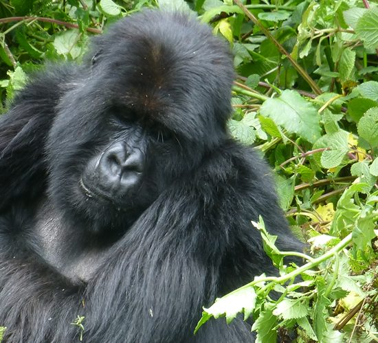 5 Days Rwanda Gorilla Trekking Safari Experience, After arrival at Kigali Airport and welcomed by our representative, you will transferred to our town hotel in Kigali for check in before a pre-safari briefing. for the rest