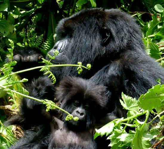 5 Days Gorilla Trekking & Wildlife Safaris will take you to Bwindi Impenetrable Forest National Park where you will have a chance to trek one of the habituated families of mountain gorillas