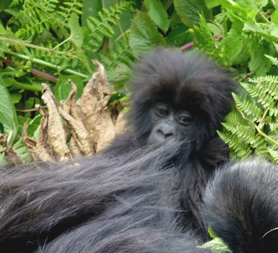 5 Days Gorillas Trekking & Lake Mburo National Park this is a special tour that takes through 2 amazing National parks-One being a Savanna park known for its Antelope and Zebra herds plus leopards and Bwindi being a tropical rain forest park famous for Mountain Gorillas.