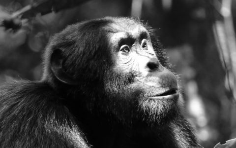 5 Days Kibale National Park discovery Safari & Chimpanzee tracking tour offers the best experience of observing Chimpanzees in their natural habitat in Uganda. Kibale Forest has the biggest population of Chimps