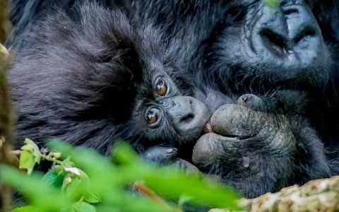 4 Days and 3 Nights Lake Bunyonyi & Bwindi Forests Gorillas Trekking Safari explores Lake Bunyonyi in Uganda best known for canoeing, boat rides, a visit to a local pygmy village, bird watching, and regional tours. The trip also visits Bwindi Forests the home to half of the world's populations of endangered Mountain Gorillas