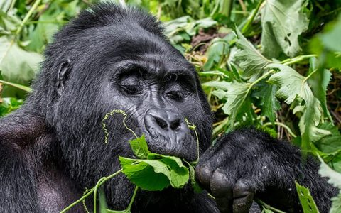 5 Days gorilla Trekking Tour and Wildlife Safari will take you to Bwindi forest for gorilla trekking, Kibale Forestnationak park for chimp tracking the forest has the biggest number of Chimpanzees and other Primates