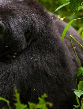 5 Days gorilla trekking and wildlife in lake mburo park