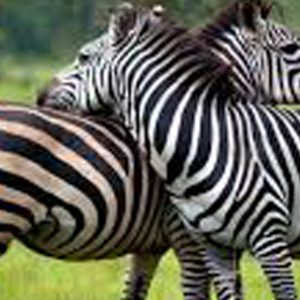 5 Days Zebra and Lions' tour