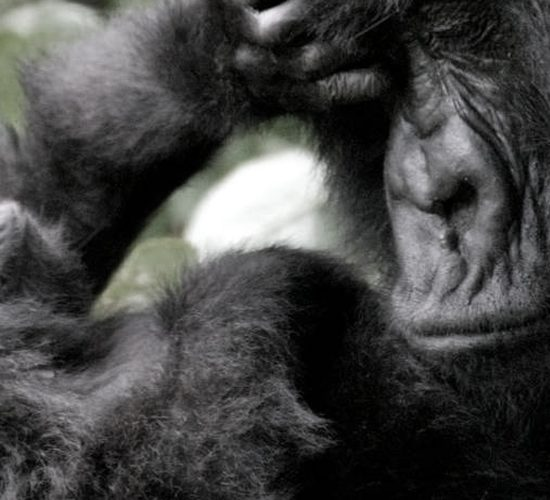 6 Days Gorilla & Chimpanzee Safari in Rwanda, Our 6 Days Gorilla and Chimpanzee tracking safari in Rwanda is a flawless package taking you for gorilla trekking safari in Volcanoes and chimps tracking and chimpanzee trekking in Nyungwe forest national park