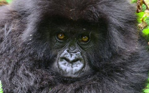 6 Days Mountain Gorilla trekking in DR Congo and Rwandais one of the most impressing safaris that will offer you an opportunity to have combined mountain gorilla trekking experience from the two stunning parks of Virunga National park in Congo and Volcanoes National park in Rwanda