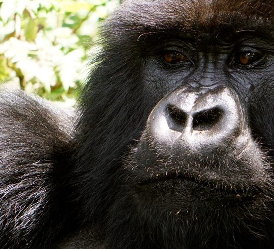 6 Days rwanda gorilla trekking safari tour will Depending on arrival time, meet and greet our representative, he will drive you to Parc Nationale de Volcanoes