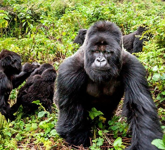 6 Days Rwanda Special Gorilla Trekking Safari Tour it gives you five nights in Rwanda as you discover the land of thousand hills, the trip will offer you encounter the mountain gorillas, recreation, chimpanzee in nyungwe national park and canopy walk