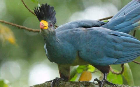 6 days birding expedition in Bwindi impenetrable national park that lies in southwestern Uganda on the edge of the Rift Valley. Its mist-covered hillsides are blanketed by one of Uganda's oldest and most biologically diverse rainforests