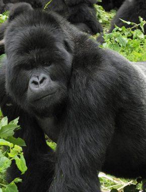 6 Days Gorilla Safaris