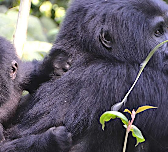 6 days gorilla trekking Tour and Jinja white water Rafting Safari Starts and ends in Entebbe international airport Uganda. It involves meeting eye to eye with the rare mountain gorillas and the magical adventurous white water rafting along the River Nile