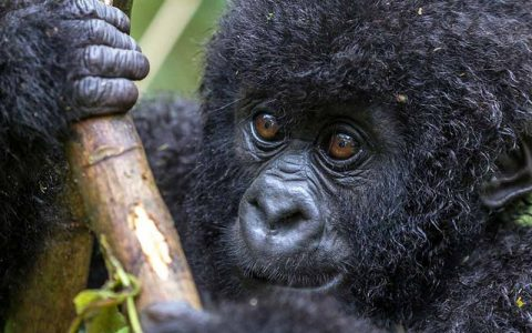 7 Days Gorilla Safari Adventure Uganda Holiday will take you to top three major National Parks; Queen Elizabeth National Park for African wildlife game viewing, boat cruise on Kazinga channel that connects lake Edward and lake George, wildlife viewing, plus tree climbing lions in Ishasha sector