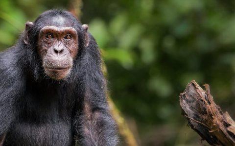 7 Days Gorilla Trekking Wildlife Safari And Chimpanzee Tour starts and ends in Kampala/Entebbe Uganda, the tour it involves both gorilla trekking & chimpanzee tracking permits for chimp