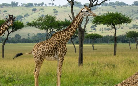 7 Days Murchison Falls and Queen Elizabeth National parks, This package will enable you to tour Uganda's most popular parks with a diversity of wildlife. In both of these 2 parks, boar cruises will add to your wildlife adventure with many water birds at Kazinga channel in queen and at the bottom of the falls in Murchison.
