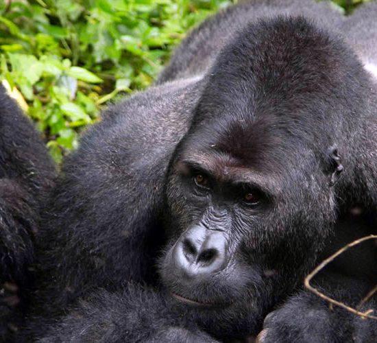 7 Days Rwanda gorilla & Chimpanzee safari tour, depending on arrival time, meet and greet aga safaris driver, guide , he will drive you to Volcanoes national paerk. along the journey to ruhengeri