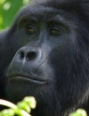 7 days / 6 nights Wildlife combined with magical Gorilla trekking & chimpanzee feeding