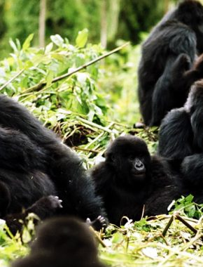 7 Days Gorilla trekking and Tree climbing Lions Safari