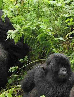 7 Days Rwanda gorilla safari tour