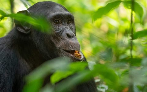 8 Days Chimpanzee, gorilla Tracking safari & wildlife trip is personalized to your own style of travel. This tour covers both the African savanna wildlife beauty and the charming rainforest wilderness