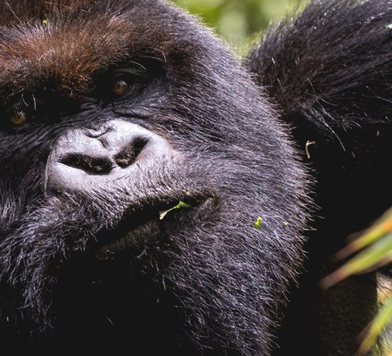 8 Days Gorillas, Chimpanzees & Tree Climbing Lions. this tour is customized to give you the best of three of Uganda's Wildlife national Parks, with this trip, you are assured of seeing a number of wild animals that include the Zebras and Antelopeof Lake Mburo national park