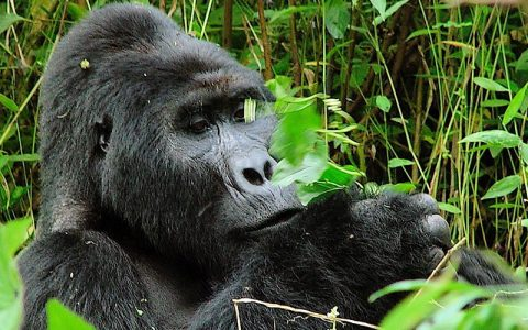 8 Days Rwanda Wildlife Safari and Primate Tour Adventures, is an exclusive, customized Rwanda Safari Tour with the main highlights of the tour being; Kigali City Tour, Game Drive and Boat Cruise in Akagera National Park, Gorilla Trekking, Iby'iwacu cultural tour, and hike to Mount Bisoke