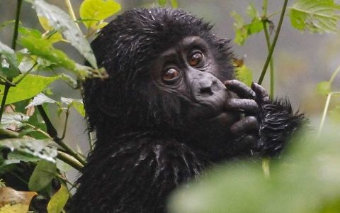 8 Days Uganda Safari and Primate Tour Adventures, will take you to Uganda's major and largest national park the Murchison Falls national park to see a number of wildlife species like lions, elephants, giraffes, buffaloes, leopards, hippos, crocodiles, among others with a nile boat ride and to Kibale Forest National Park