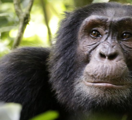 8 Days best of Uganda's Primate Safari Tour this tour package introduces the traveler to what Uganda has to offer when it comes to primates. The tour starts with a day trip to Ngamba island purposely for chimpanzee tracking