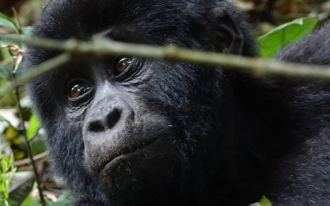 8 Days wildlife tour, Gorilla safari & Chimpanzee trekking adventure is a classic African safari tour that takes place in Western region of the pearl of Africa