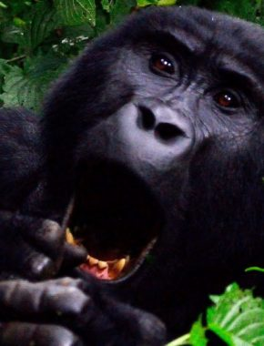 8 Days Gorilla safari tour