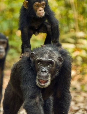 8 Days-The best of Uganda's apes