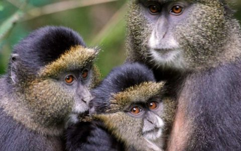 9 Days Rwanda expeditions safari tour with Aga safaris a premier travel agency in Africa, start with the cultural tour, continue to Nyungwe forest national park for chimp trekking, visit to Kibuye memorial near Lake Kivu, Akagera National park