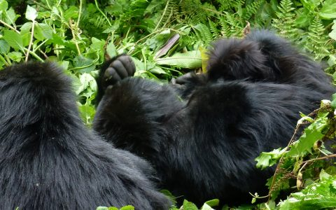 9 days Uganda, Rwanda and DR Congo safari is an ultimate African Safari through Uganda, Rwanda and Congo offering a once in a lifetime experience as you track mountain gorillas in the Virunga Region. You will also visit the savannah game in Queen Elizabeth National Park