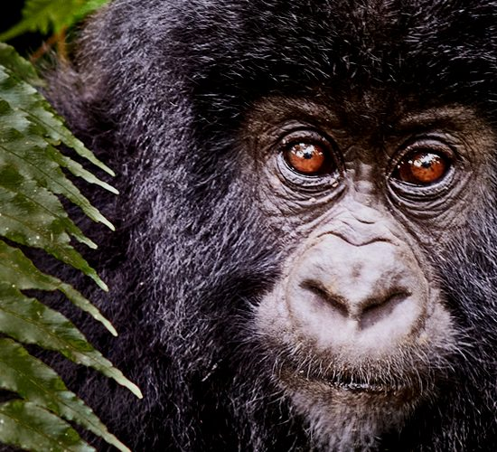 9 Days Visit Rwanda Primate safari & wildlife tour will start and end in Kigali it will enable you explore the gifted land nature of Rwanda, a beauty that keeps attracting thousands of tourists to visit the Land of Thousand Hills